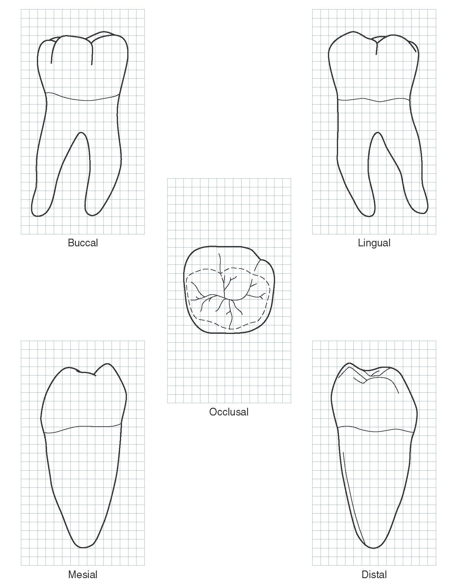 The Permanent Mandibular Molars Dental Anatomy
