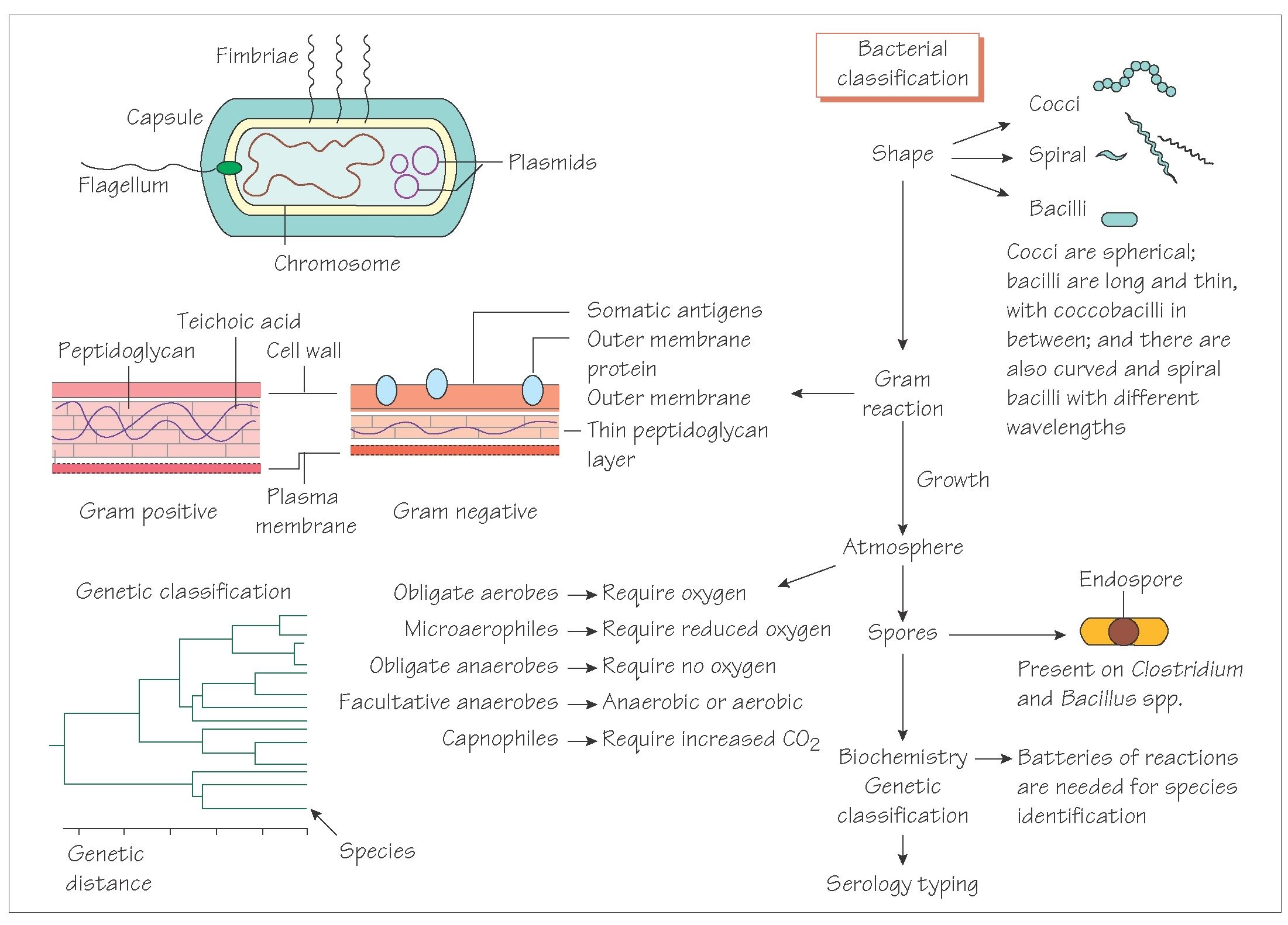 bacteria structure diagram cat 5 6 wiring and classification of medical microbiology infection