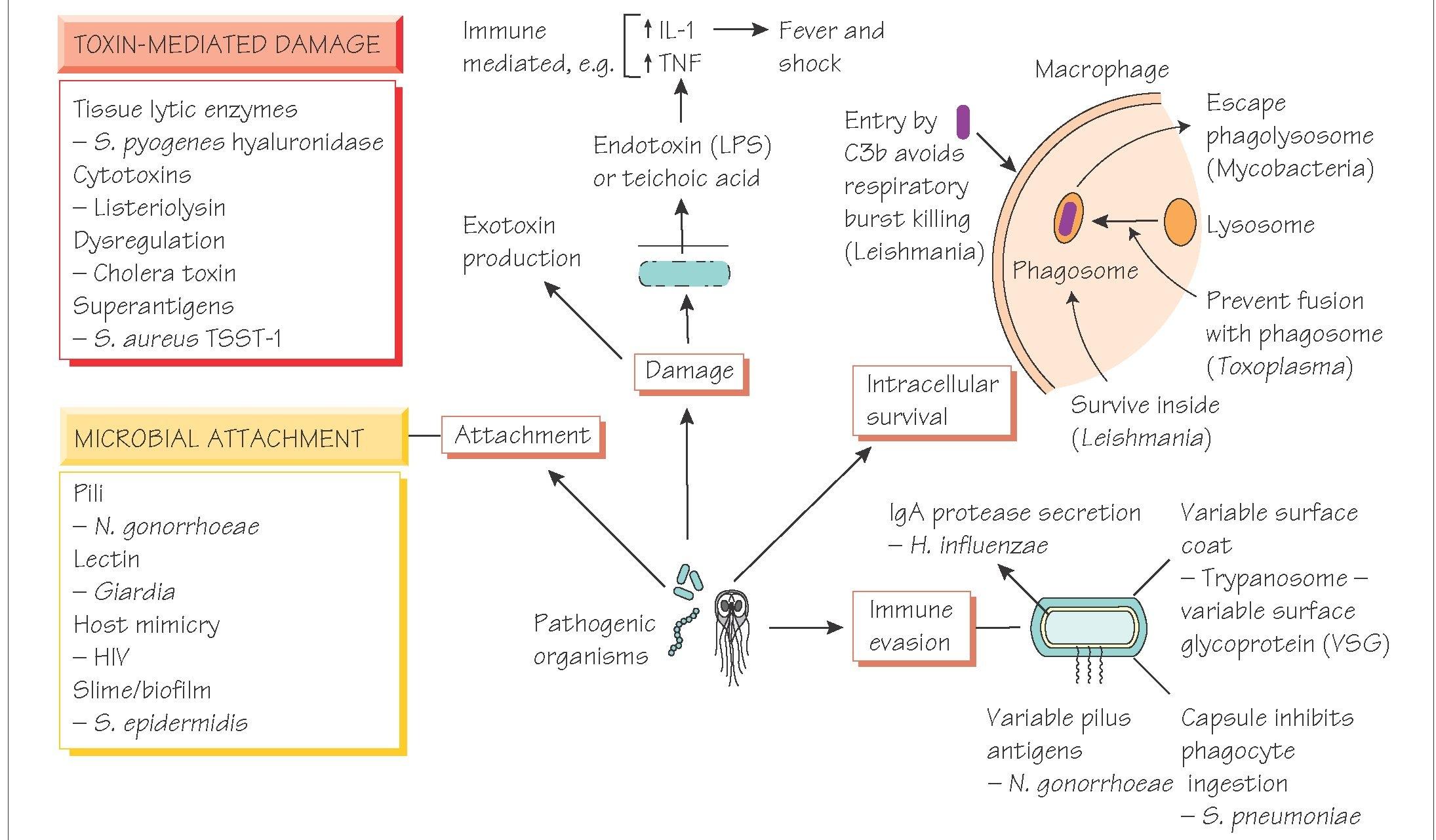 Pathogenicity And Pathogenesis Of Infectious Disease