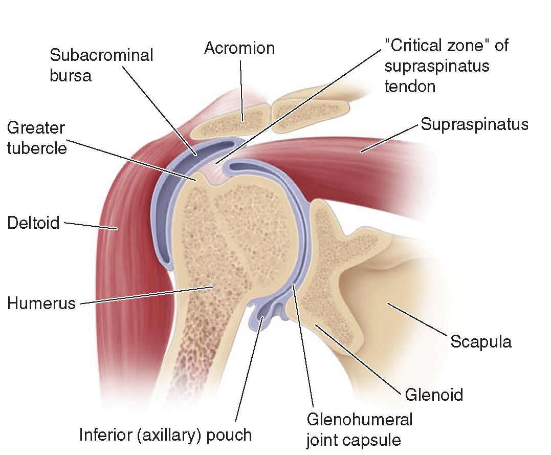 hight resolution of coronal section of the shoulder illustrating the relationships of the glenohumeral joint the joint capsule
