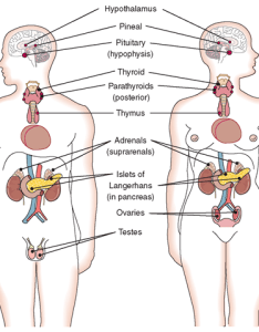 Location of the major endocrine glands in body also system structure and function nursing part rh what when how
