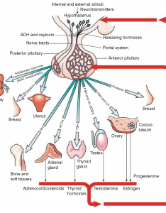 The pituitary gland relationship of hypothalamus to action and hormones also endocrine system structure function nursing part rh what when how