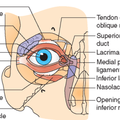 Parts Of The Eye Diagram And Function In Vivo Gene Therapy Sensory System Structure Nursing Part 1 Right Its Appendages Anterior View
