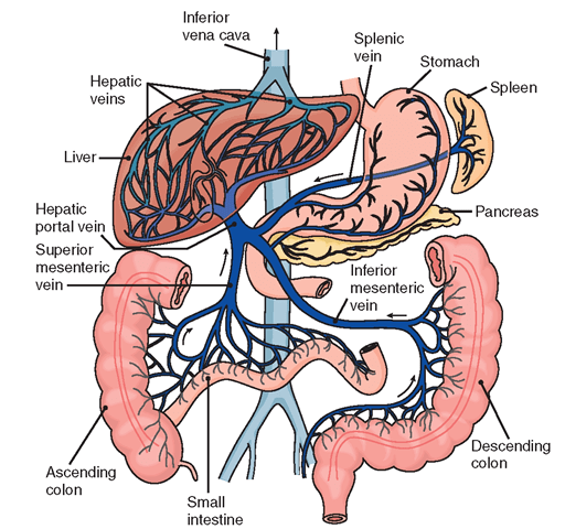 portal vasculature diagram 12 volt marine wiring the hematologic and lymphatic systems (structure function) (nursing) part 3