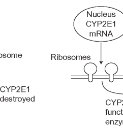 cyp2e1 induction this cyp is not controlled by nuclear receptors and cyp enzyme is made [ 1550 x 525 Pixel ]