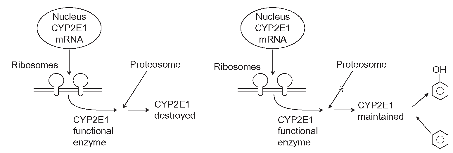 hight resolution of cyp2e1 induction this cyp is not controlled by nuclear receptors and cyp enzyme is made