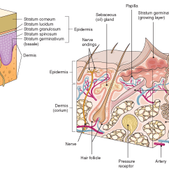 Skin Cross Section Diagram 1955 Chevy Dash Wiring The Integumentary System Structure And Function Nursing