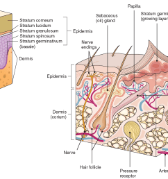 cross section of skin structures  [ 2113 x 1370 Pixel ]