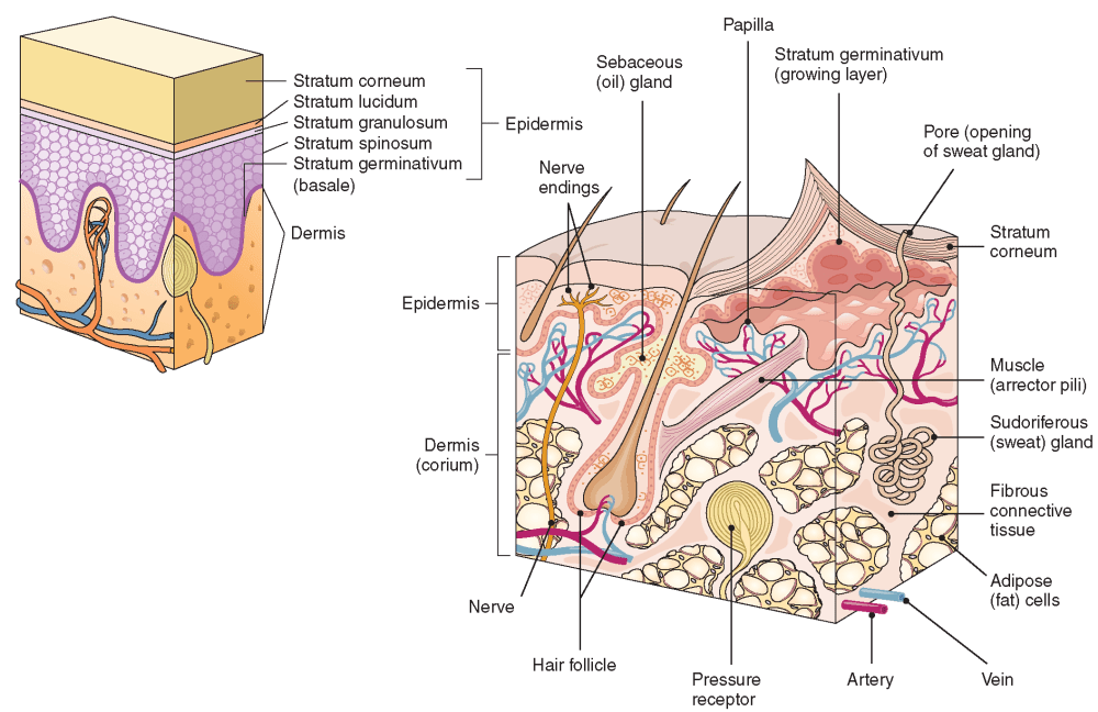 medium resolution of cross section of skin structures