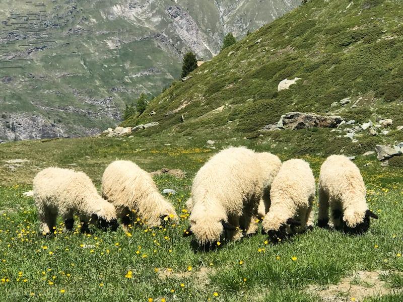 Swiss black nose sheep