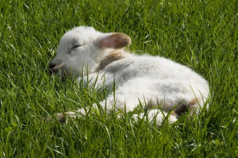 welsh-mountain-sheep-day-old-lamb-sleeping-in-field-nicholaston-gower-s-wales-uk