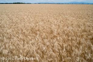 Wheat Photograph, Oregon