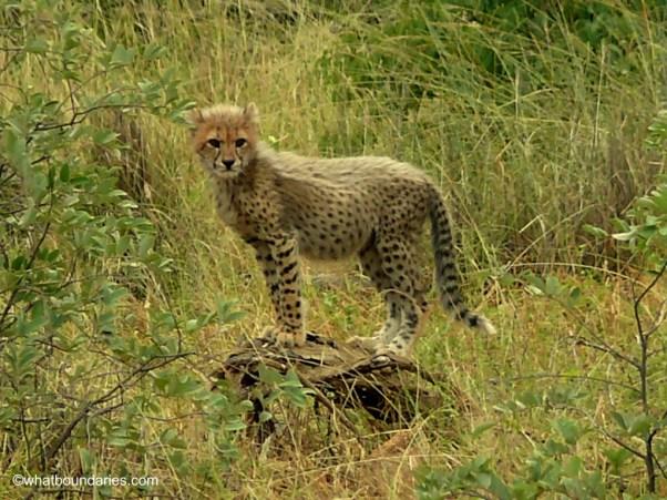 South African Cubbie