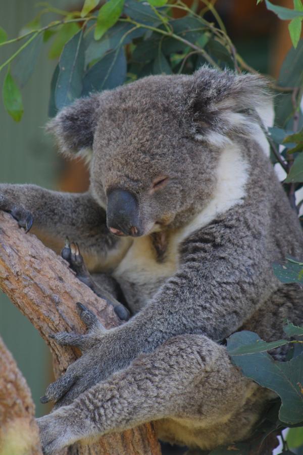The koala barely stayed awake long enough to eat!
