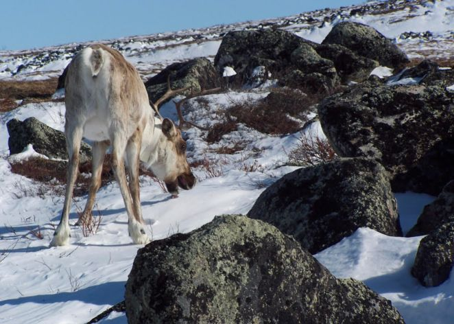 arctic animals movement patterns are shifting in different ways as the climate changes - Arctic Animals' Movement Patterns are Shifting in Different Ways as the Climate Changes