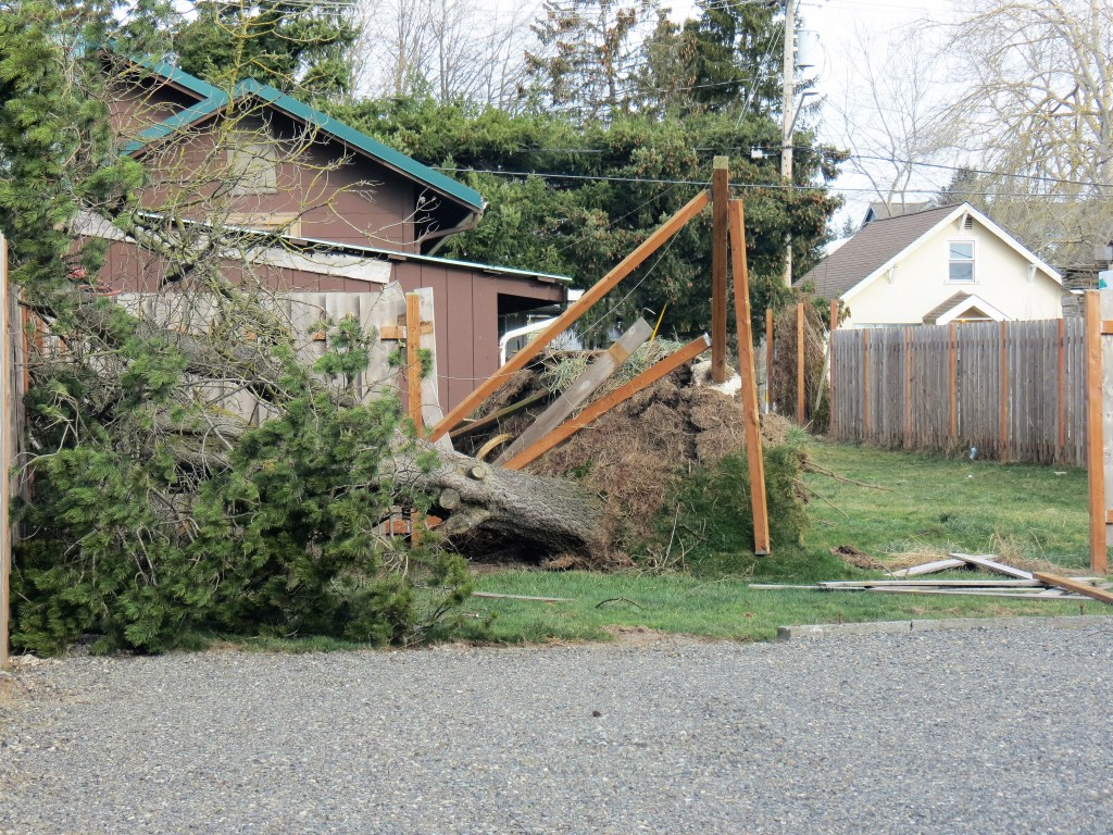 A damaged tree on 2nd Avenue after a windstorm with 70mph gusts (February 10, 2019). Photo: My Ferndale News