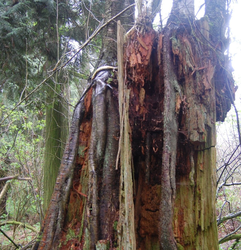 Fir stump supporting birch trees a century after logging. Photo: Marvin Waschke