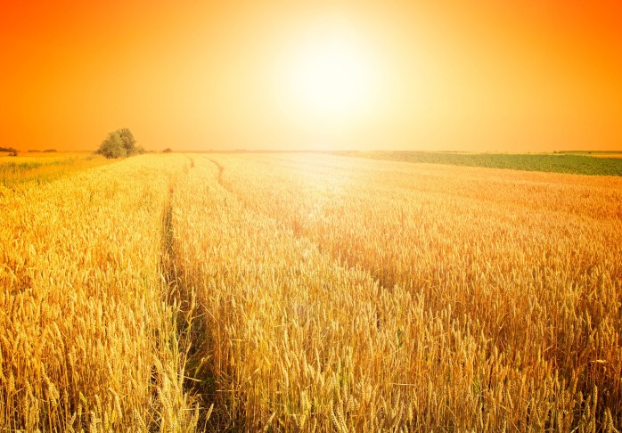 The Harvest Field
