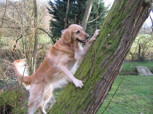 A dog climbing a tree, DUH!