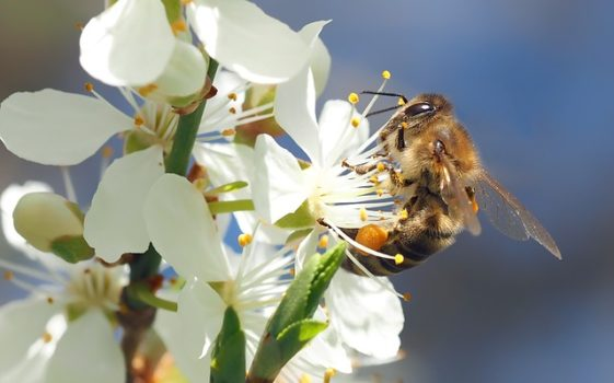 Are Flowering Bradford Pear trees good for bees? Maybe, but