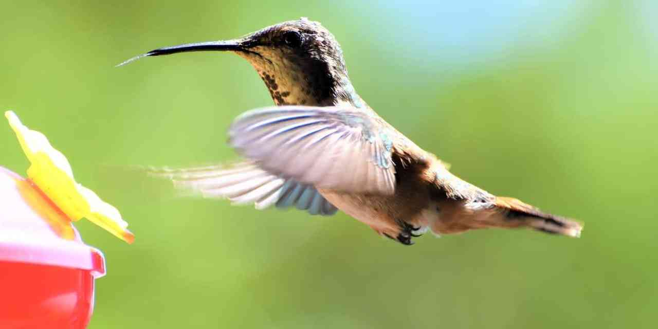 hummingbird hacks. how to attract hummingbirds and other