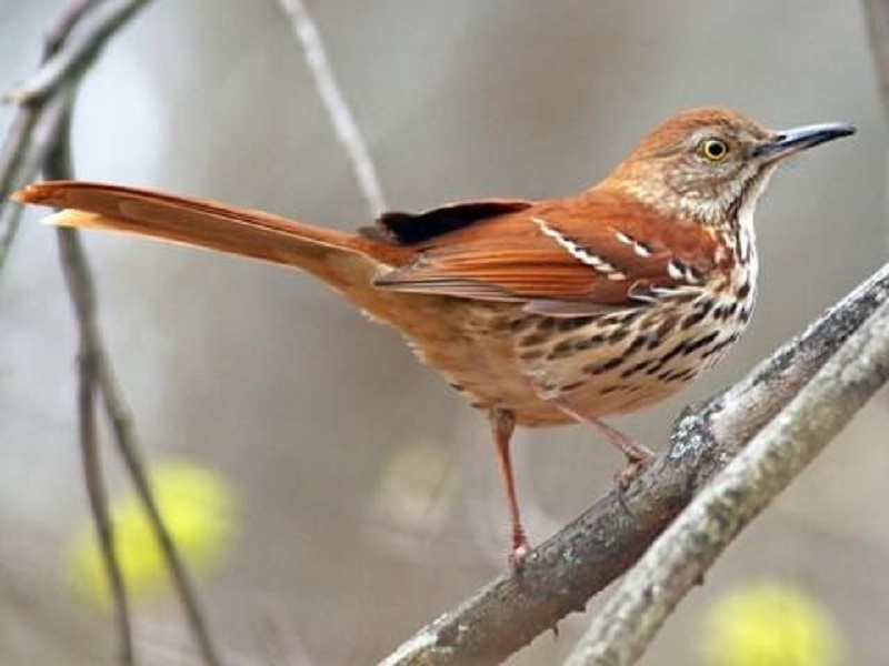 State Birds of Georgia