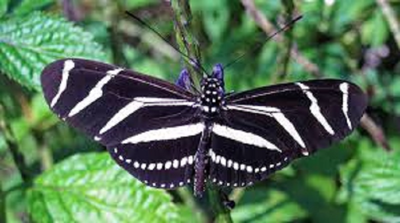 State Butterfly of Florida