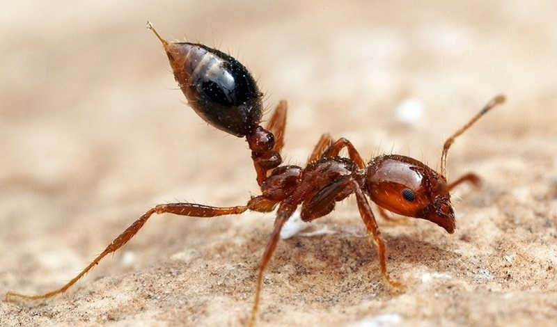 Dorylus-largest ant in the world