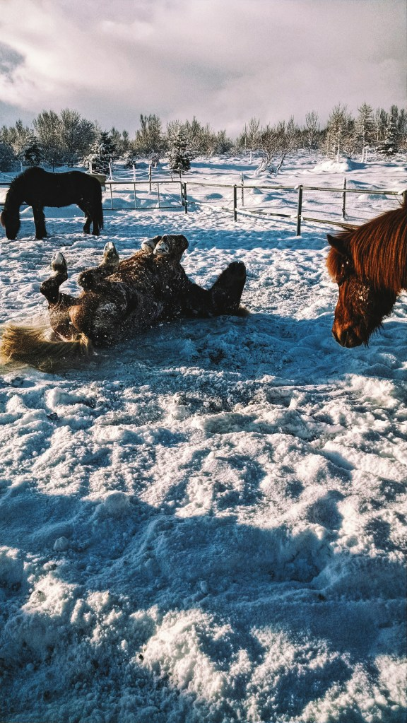A horse rolling on his back in the snow in Iceland