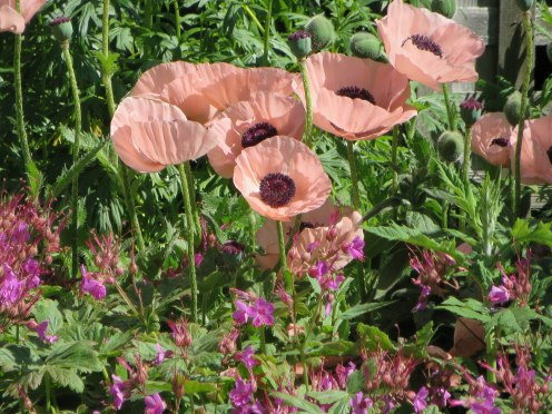monhegan-2016-pink-poppies-1