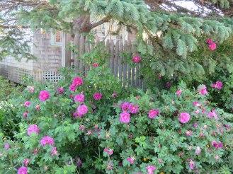 monhegan-2016-roses-2