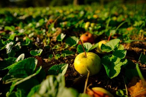 fallen-apple_sm