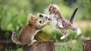 Cats Playing Image