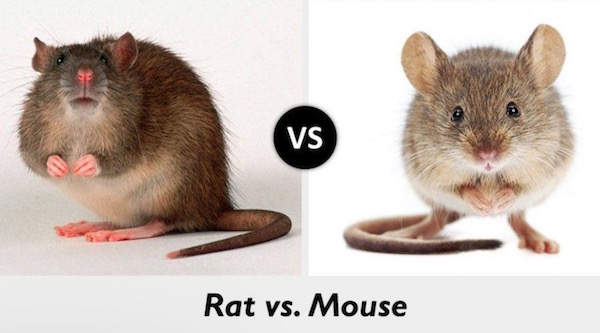 rat vs mouse