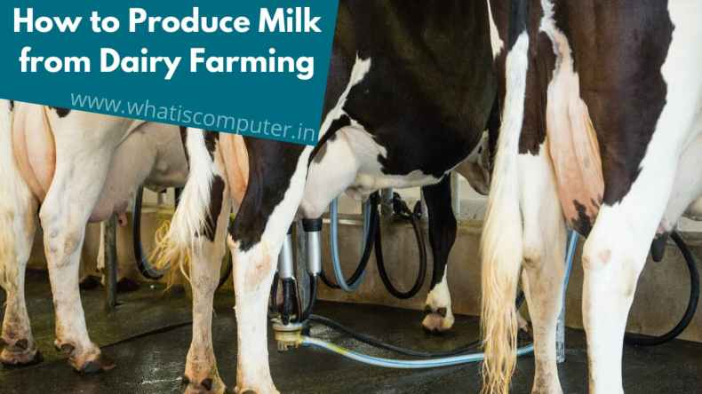 How to Produce Milk from Dairy Farming