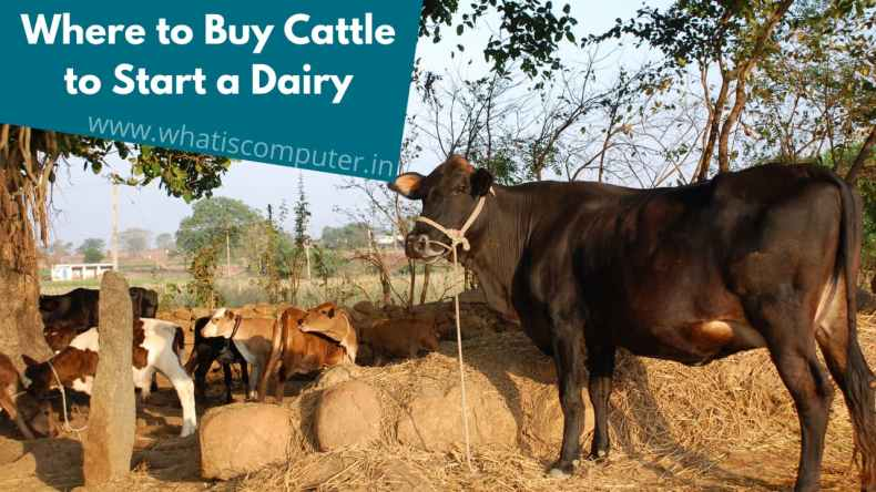 Where to Buy Cattle to Start a Dairy