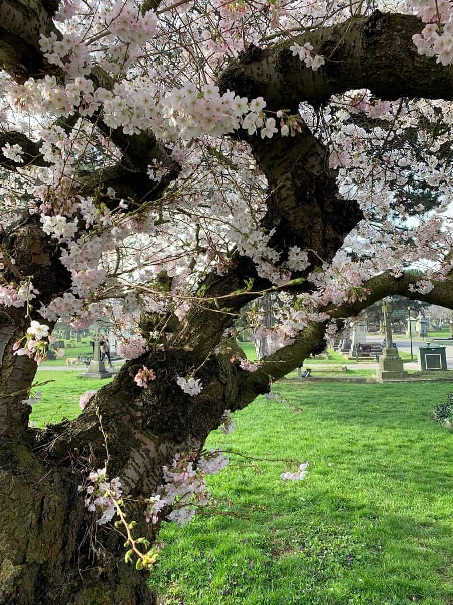Tree with pink and white blossoms
