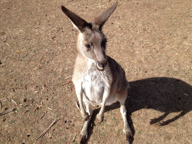 Kangaroos at Phillip Island Wildlife Park