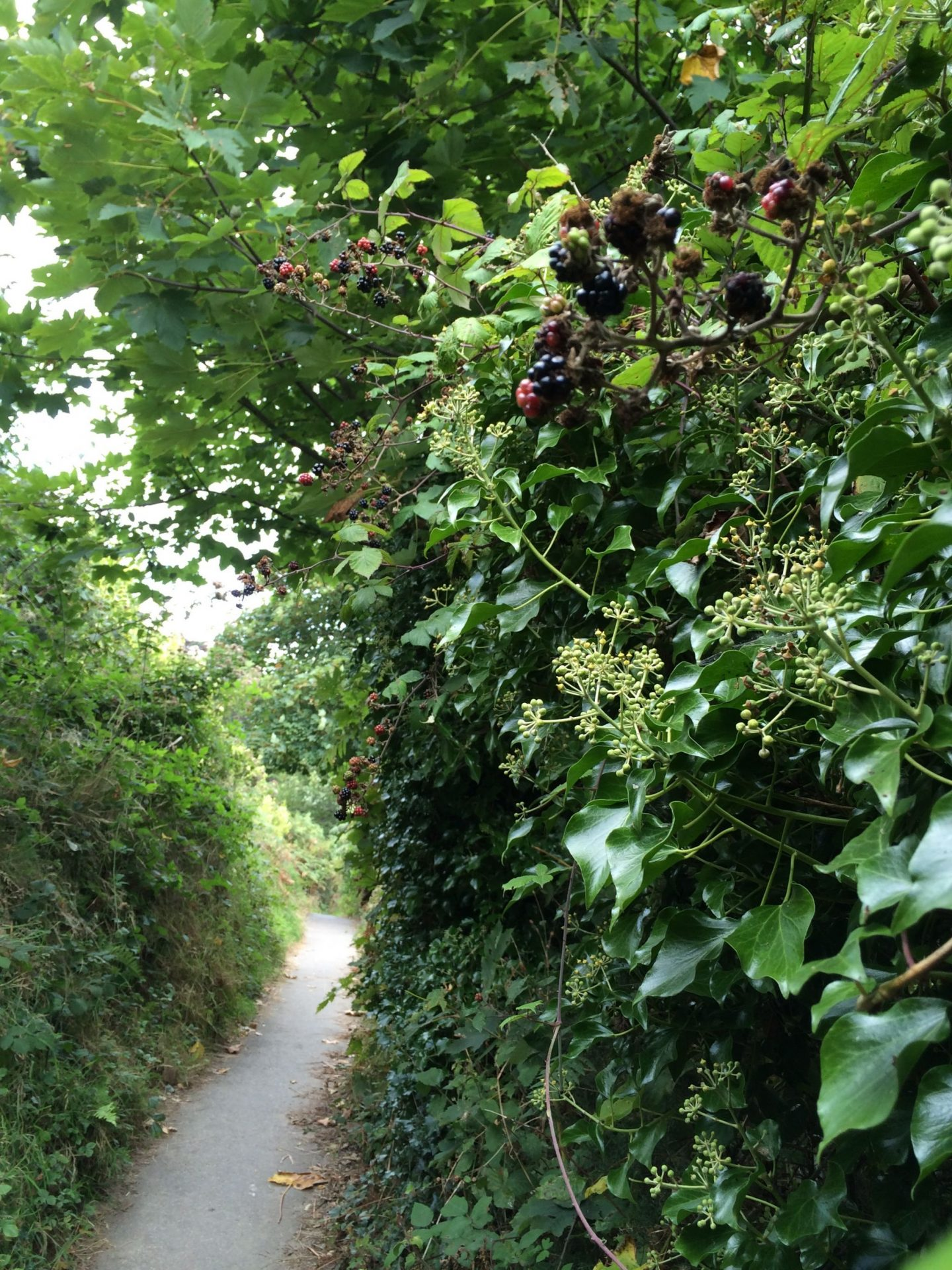 Carbis Bay to St Ives trail with blackberries