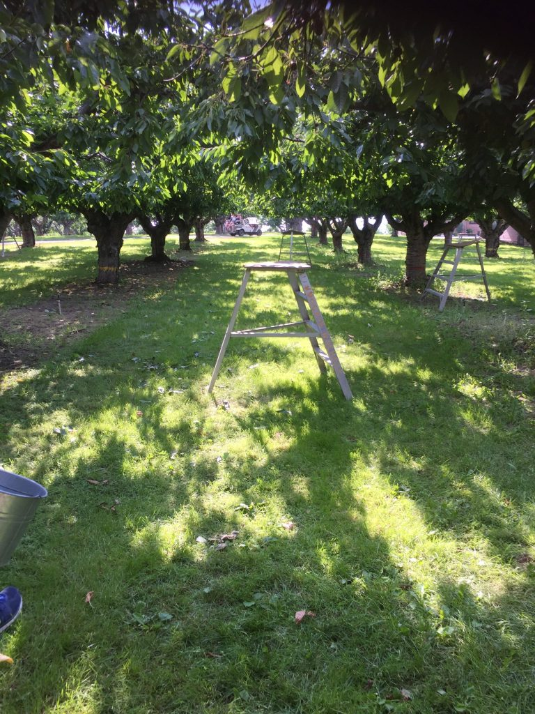 Cherry picking in the Okanagan Valley