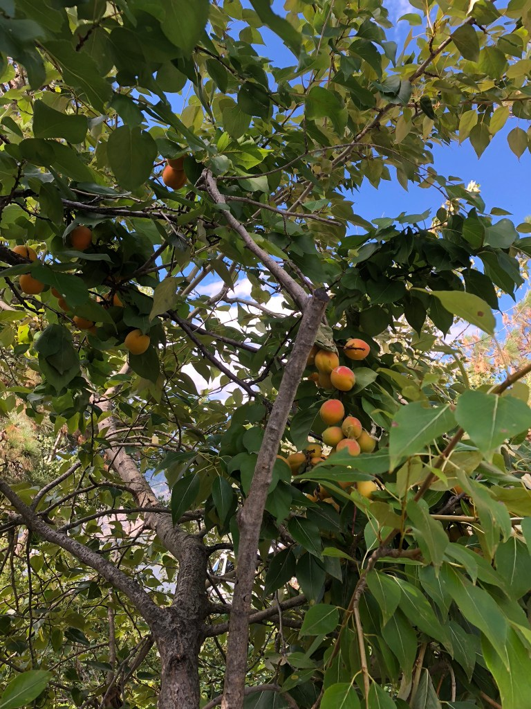 Peach trees in the Okanagan Valley