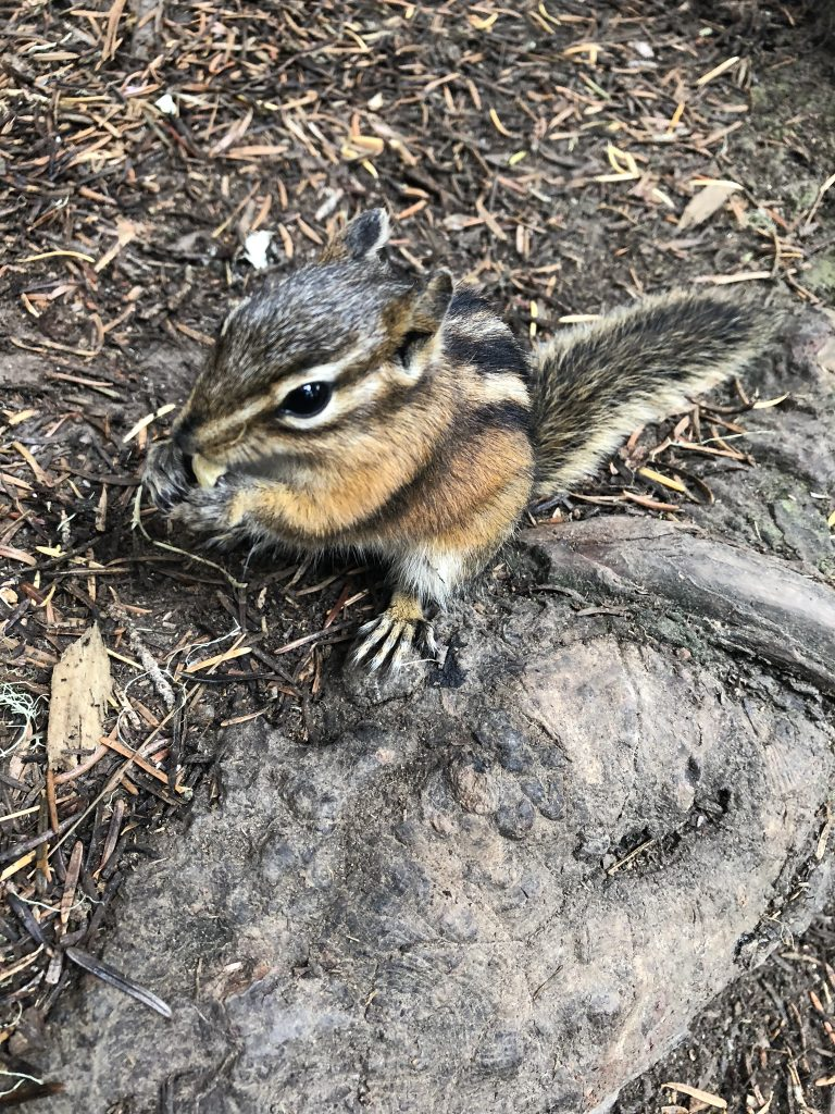 A chipmunk near Garibaldi Lake