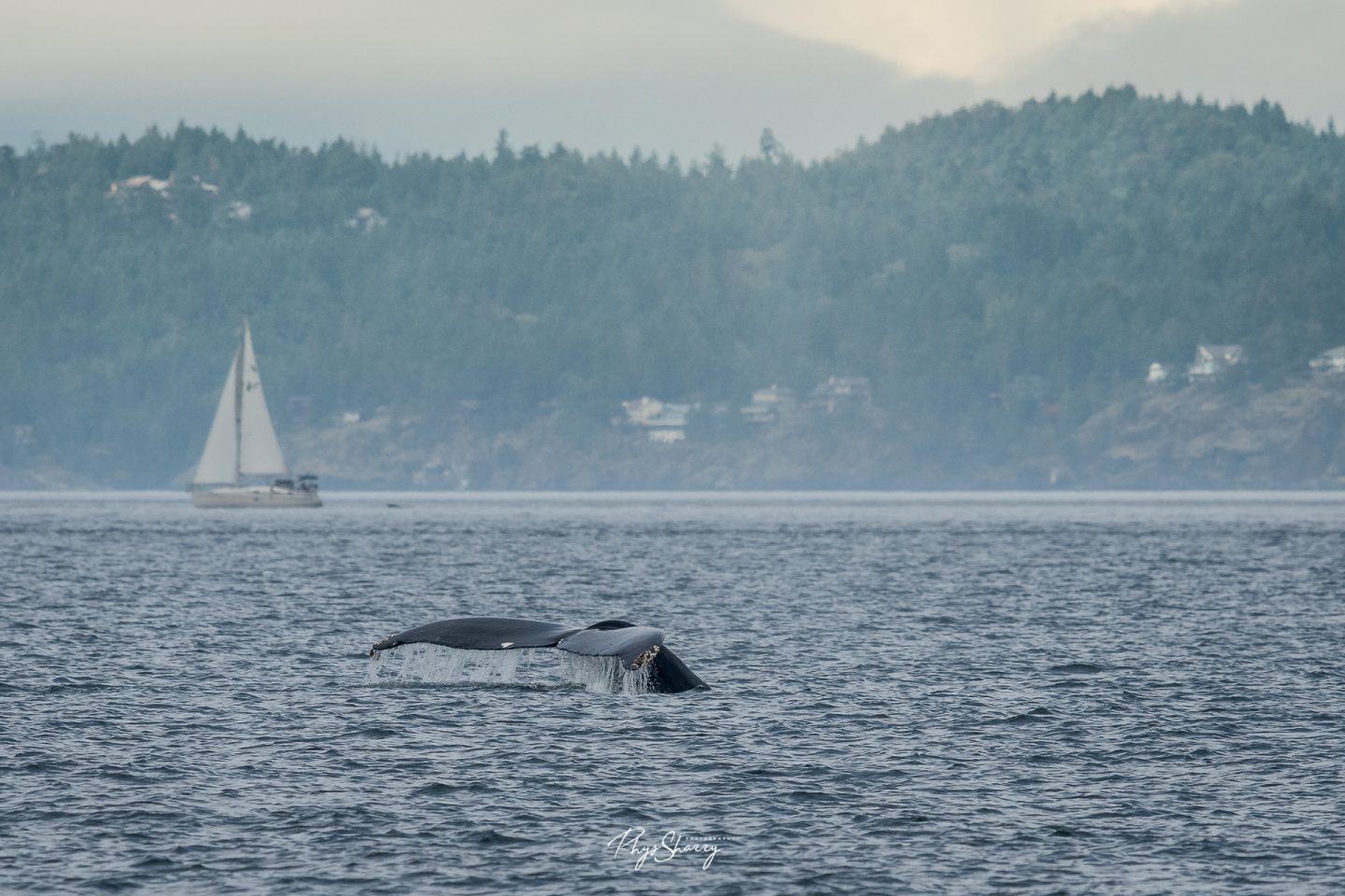 The tail of a humpback whale when whale watching in Vancouver