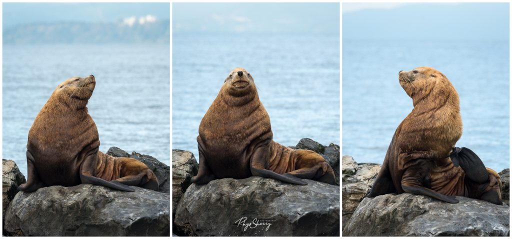 Steller's Sea Lion near Vancouver