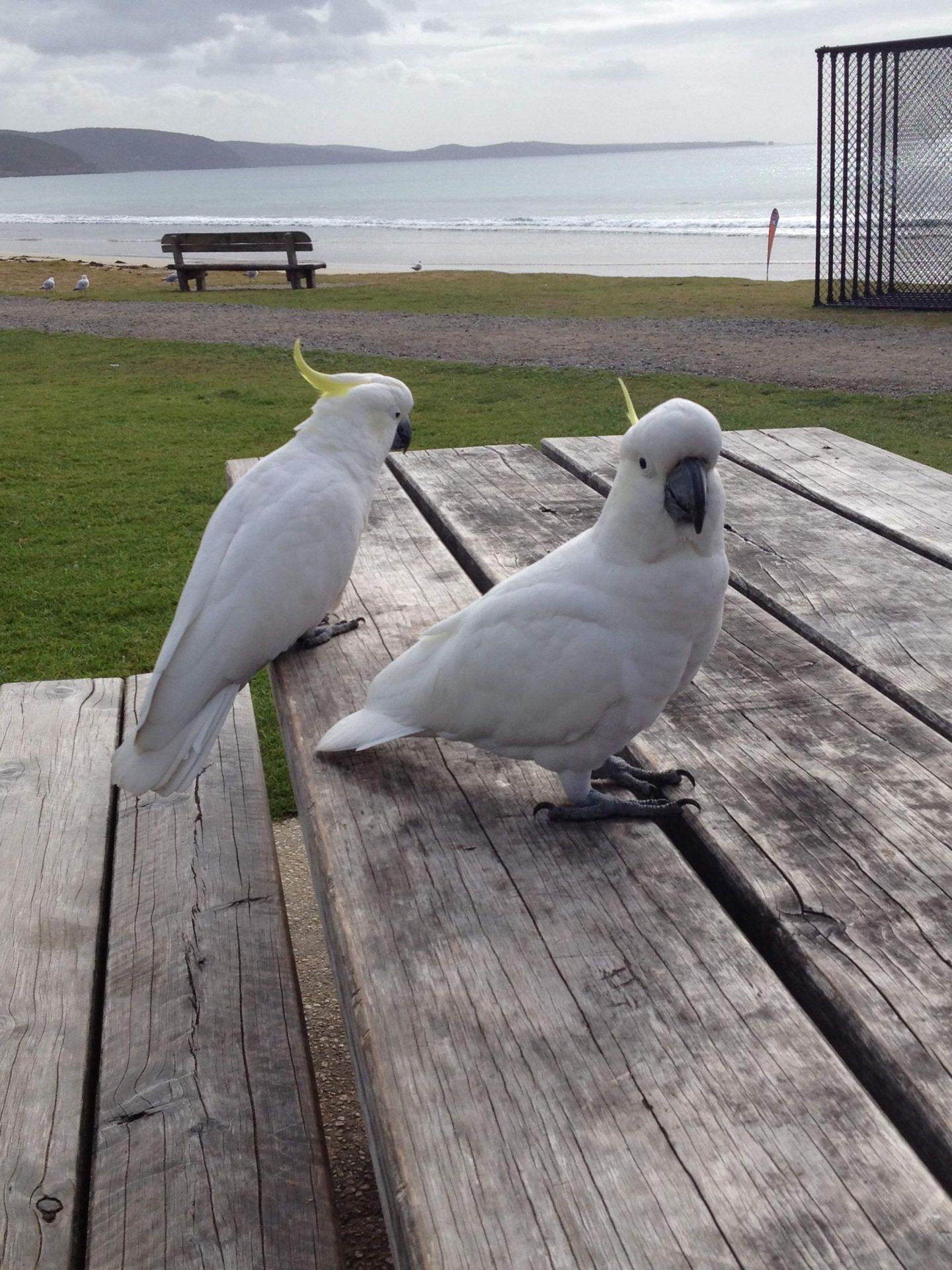 Cockatoos in Lorne, Victoria