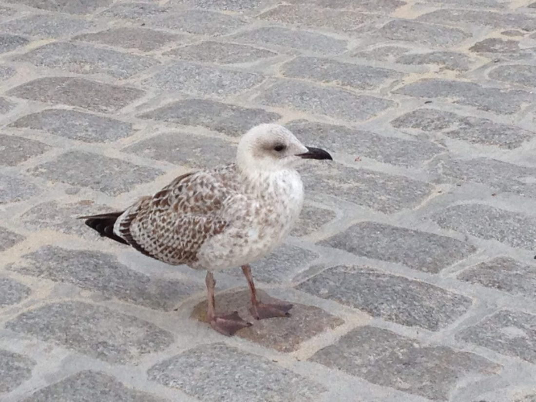 A seagull in St Ives, Cornwall