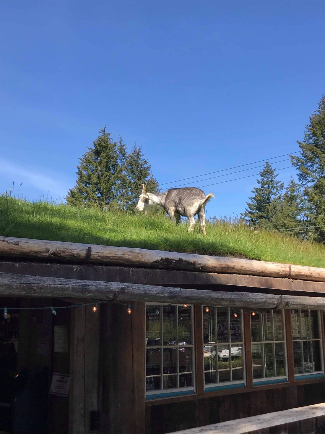 Goats on a Roof, Coombs