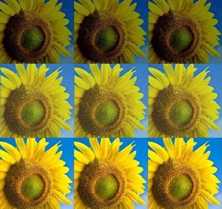 słoneczniki photoshopa