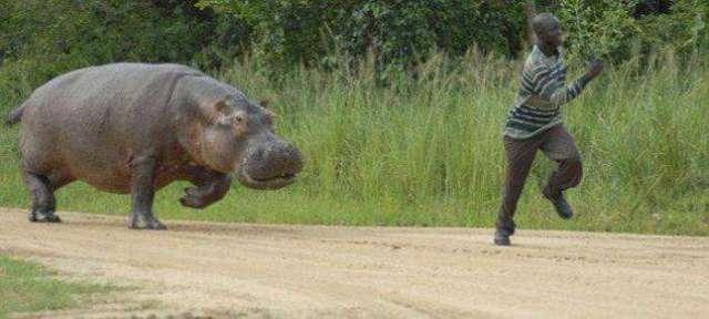 Hippopotamus chases man at Murchison Falls national park, Uganda