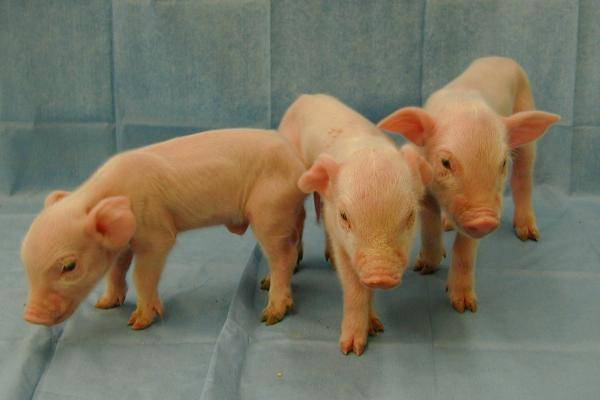 Chinese-firms-1600-gene-edited-micro-pigs-raise-questions